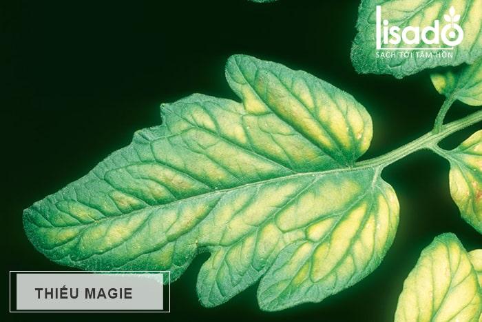 Thiếu Magie (Mg) trên cây trồng
