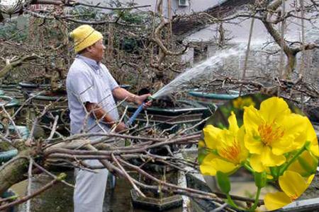 Tưới nước mai vàng mùa mưa