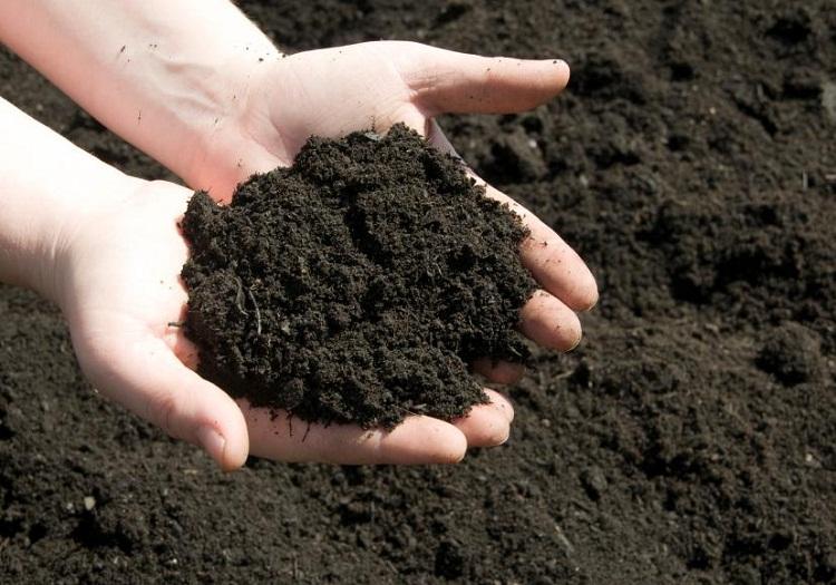 Hướng dẫn cách trộn đất trồng mai tết hiệu quả