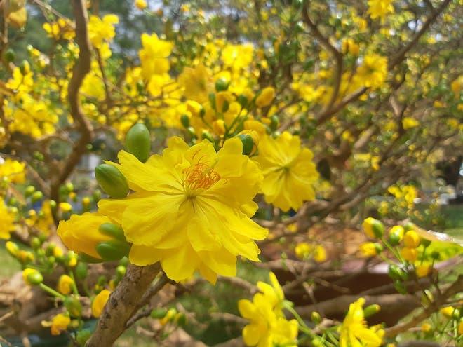 Những bài thơ về hoa đào, hoa mai hay nhất Tết 2019 cho dân mạng