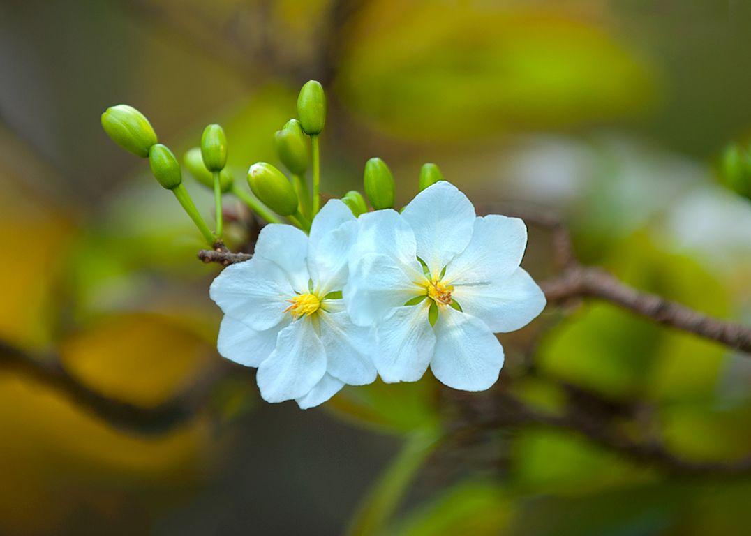 Hoa mai trắng | Hình Ảnh | Hình ảnh, Hoa, Hoa đẹp