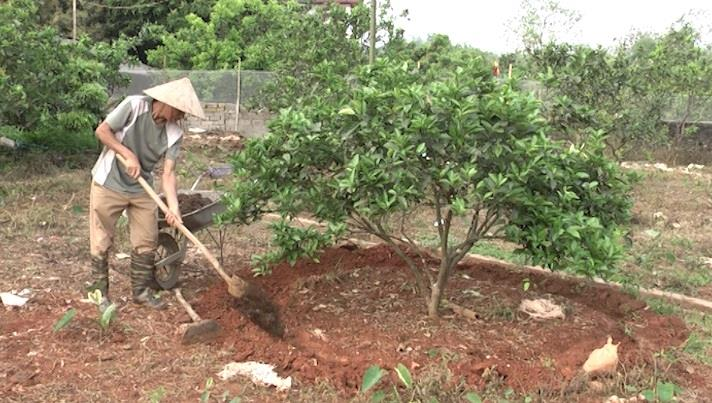 Kỹ thuật bón phân cho cây cam sau thu hoạch