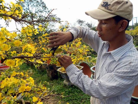 Cách cắt tỉa cành mai vàng sau Tết đúng cách | Hoa Mai Bình Định