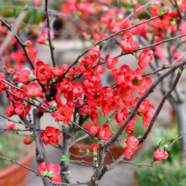 Kỹ thuật trồng và chăm sóc cây hoa mai đỏ 2