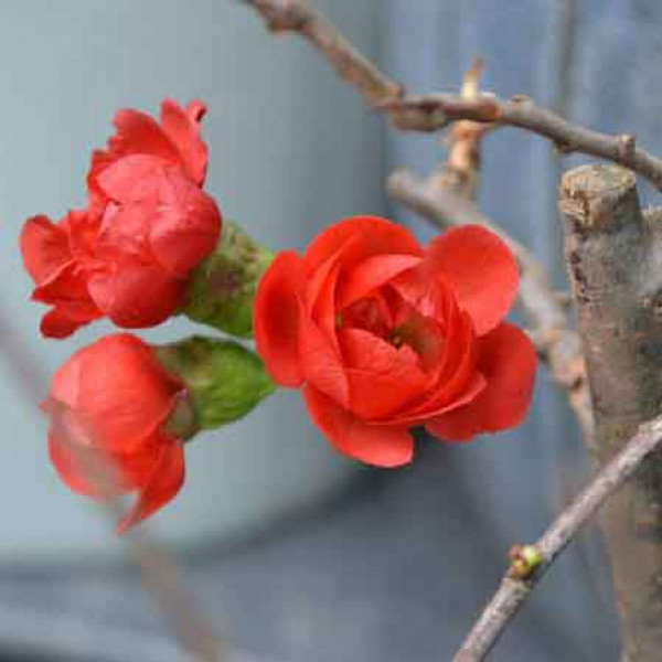 Kỹ thuật trồng và chăm sóc cây hoa mai đỏ 1