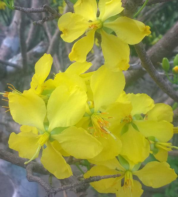 cây mai vàng 5 cánh