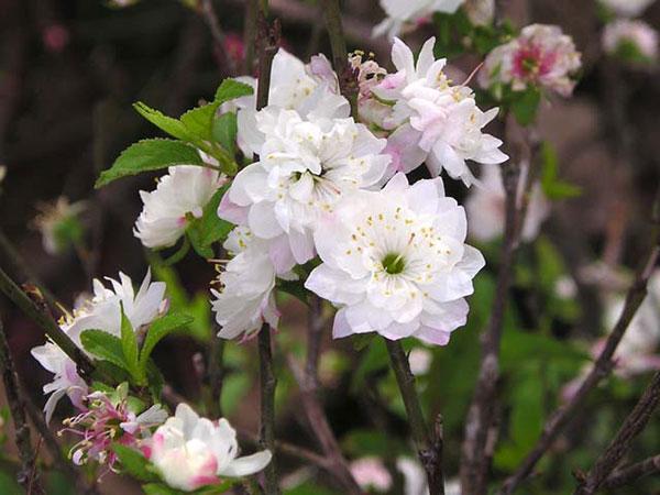Nhât chi mai cho hoa têt- HOA MAI TRẮNG- BẦU CÂY LỚN-LOÀI HOA MANG QUỐC HỒN  QUỐC TÚY | Lazada.vn