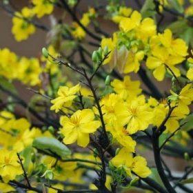 Nguồn gốc và ý nghĩa của cây hoa mai - KhoaHoc.tv