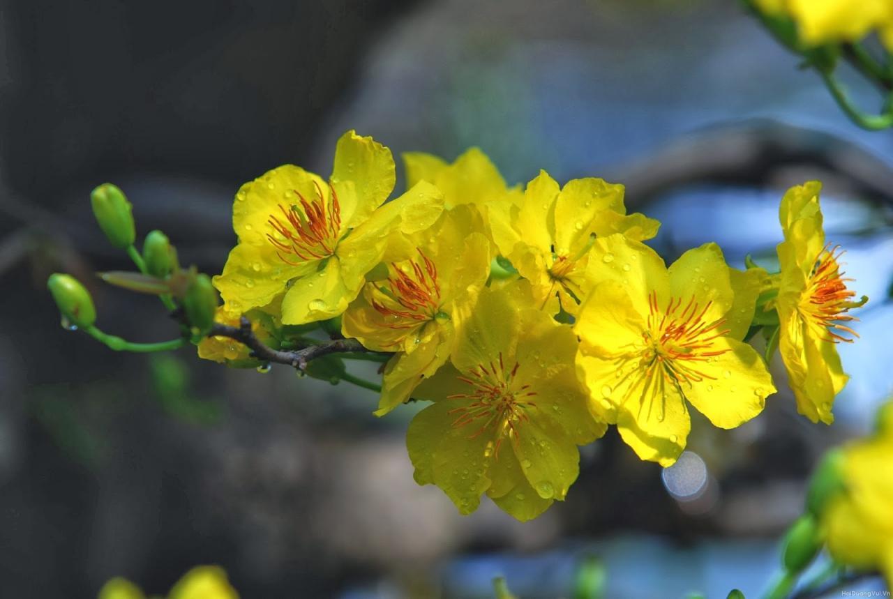 Hình ảnh nền: Hình nền hoa mai vàng ngày tết